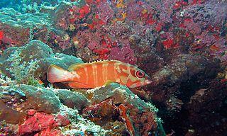 Blacktip grouper species of fish