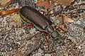 Blister Beetle - Lytta aenea, Calvert Cliffs State Park, Lusby, Maryland.jpg