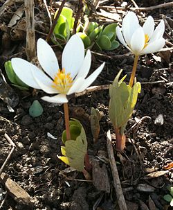 definition of bloodroot