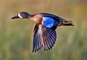 Blue-winged Teal in Brazoria National Wildlife...