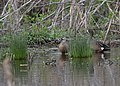 Blue-winged Teal (33461390994).jpg