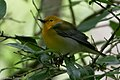 Blue-winged Warbler (male) Fall Out 2 Sabine Woods TX 2018-04-09 09-19-34 (40794975654).jpg