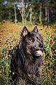 Blue Bay Shepherd in wildflowers.jpg