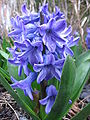 Blue Hyacinth by Kranchan.jpg