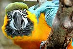 Blue and Gold Macaw - Linton Zoo (16288175403).jpg