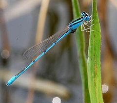 Pseudagrion