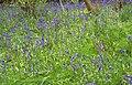 Bluebells - geograph.org.uk - 334562.jpg