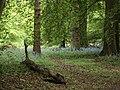 Bluebells in Barnsleys Wood - geograph.org.uk - 1303484.jpg