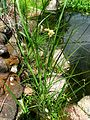 Bolboschoenus maritimus (5187366567).jpg