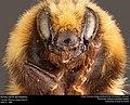 Bombus Huntii (Bumblebee) (21252470803).jpg