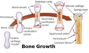 Endochondral ossification - Image: Bone growth