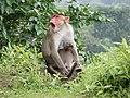 Bonnet Macaques Macaca radiata Kanheri SGNP Mumbai by Raju Kasambe DSCF0056 (1) 07.jpg
