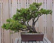 drzewko szczęścia - pielęgnacja