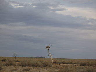 Riverina - An eagle's nest on The Old Man Plain, an extensive saltbush plain between Hay and Wanganella.