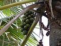Borassus aethiopum 0026.jpg