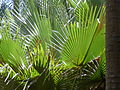 Borassus aethiopum 0042.jpg