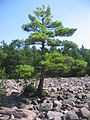 Boulder Field Tree Hickory Run State Park.jpg