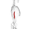 Brachialis muscle03.png