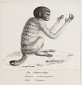 Brachyurus melanocephalus - 1809-1845 - Print - Iconographia Zoologica - Special Collections University of Amsterdam - UBA01 IZ20200251-DO1.tif