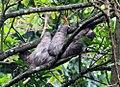 Bradypus variegatus 13zz.jpg