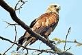 Brahminy Kite (13077479034).jpg