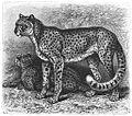 Brehms Het Leven der Dieren Zoogdieren Orde 4 Afrikaanse Gepard (Cynailurus guttatus).jpg