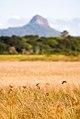 Brejo-herbáceo (Ambiente) - Herbaceous-marsh.jpg