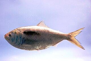 Menhaden Informal name for some fishes (genera Brevoortia and Ethmidium)