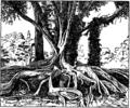 Britannica Fig Ficus elastica.png