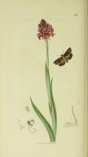 Celaena haworthii - Illustration from John Curtis's British Entomology Volume 5