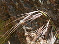 Bromus diandrus (3857568009).jpg