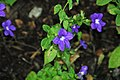 Browallia speciosa (bush violet) 1 (24618523317).jpg
