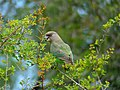 Brown-headed Parrot (Poicephalus cryptoxanthus) (11477218264).jpg