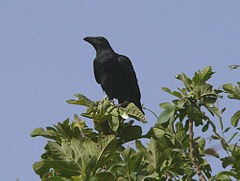 Brown-necked raven.jpg