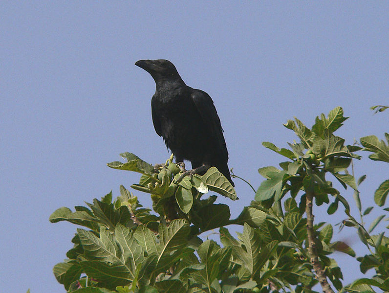 קובץ:Brown-necked raven.jpg