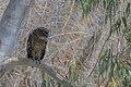 Brown Fish Owl (30901233557).jpg