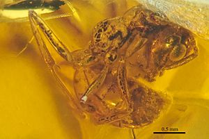 New Jersey amber - Brownimecia clavata holotype, lateral view, fossil in New jersey amber, specimen number AMNH-NJ667