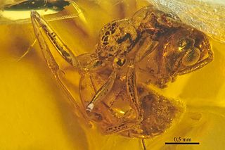 amber found in the Raritan and Magothy Formations of the Eastern Central Atlantic coast