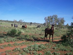 Brumby - Brumbies near the Sandover Highway in the Northern Territory, 2006