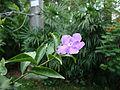 Brunfelsia pauciflora (3).JPG