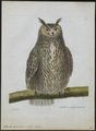 Bubo maximus - 1790-1796 - Print - Iconographia Zoologica - Special Collections University of Amsterdam - UBA01 IZ18400063.tif