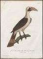 Buceros panini - 1801 - Print - Iconographia Zoologica - Special Collections University of Amsterdam - UBA01 IZ19300091.tif