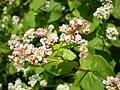 Buchweizen-Blüten.JPG