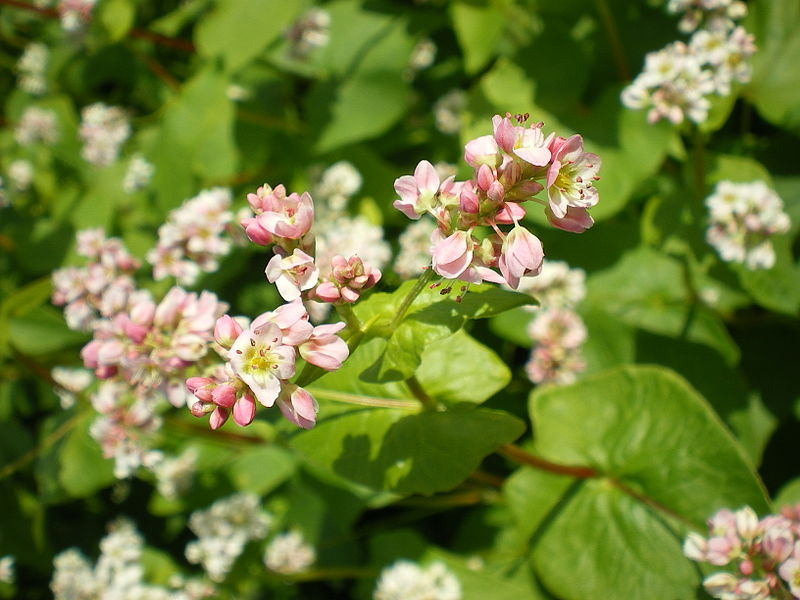 fagopyrum esculentum  common buckwheat   polygonum fagopyrum