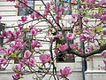 Bucuresti, Romania. Magnolie frumos inflorita. Aprilie 2019.jpg