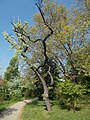 Budai Arborétum. Felső kert. Nyírlevelű körtefa (Pyrus betulifolia). - Budapest XI. kerület.JPG