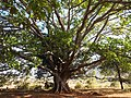 Buddha tree west of Inle Lake (Myanmar 2013) (11772583365).jpg