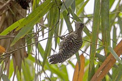 Buff-rumped Woodpecker.jpg
