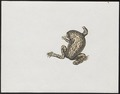 Bufo spec. - 1700-1880 - Print - Iconographia Zoologica - Special Collections University of Amsterdam - UBA01 IZ11500153.tif