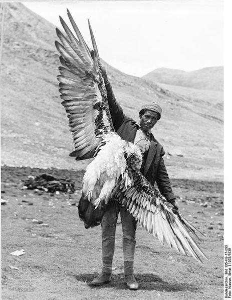 File:Bundesarchiv Bild 135-KB-17-095, Tibetexpedition, Erlegter Schneegeier.jpg